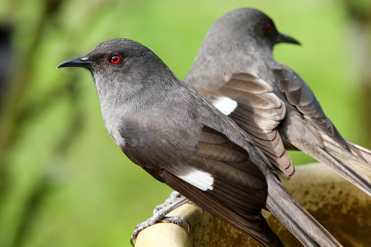 Tips Cara Merawat Burung Murai Air Bunyi Nyaring Gacor