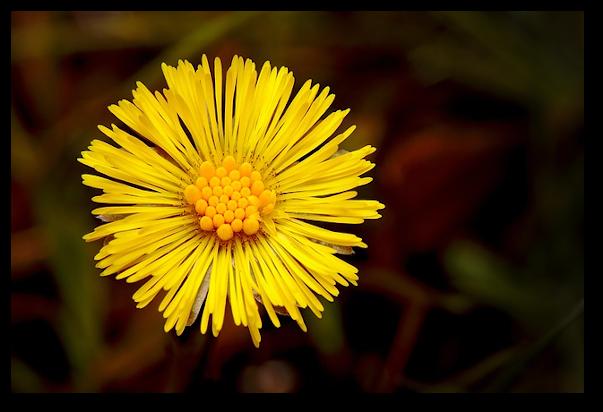 Florile de podbal se folosesc sub forma de ceaiuri simple sau combinate, ca sirop sau tincturi, in afectiuni respiratorii, tuse, raguseala, catar, bronsita si astm