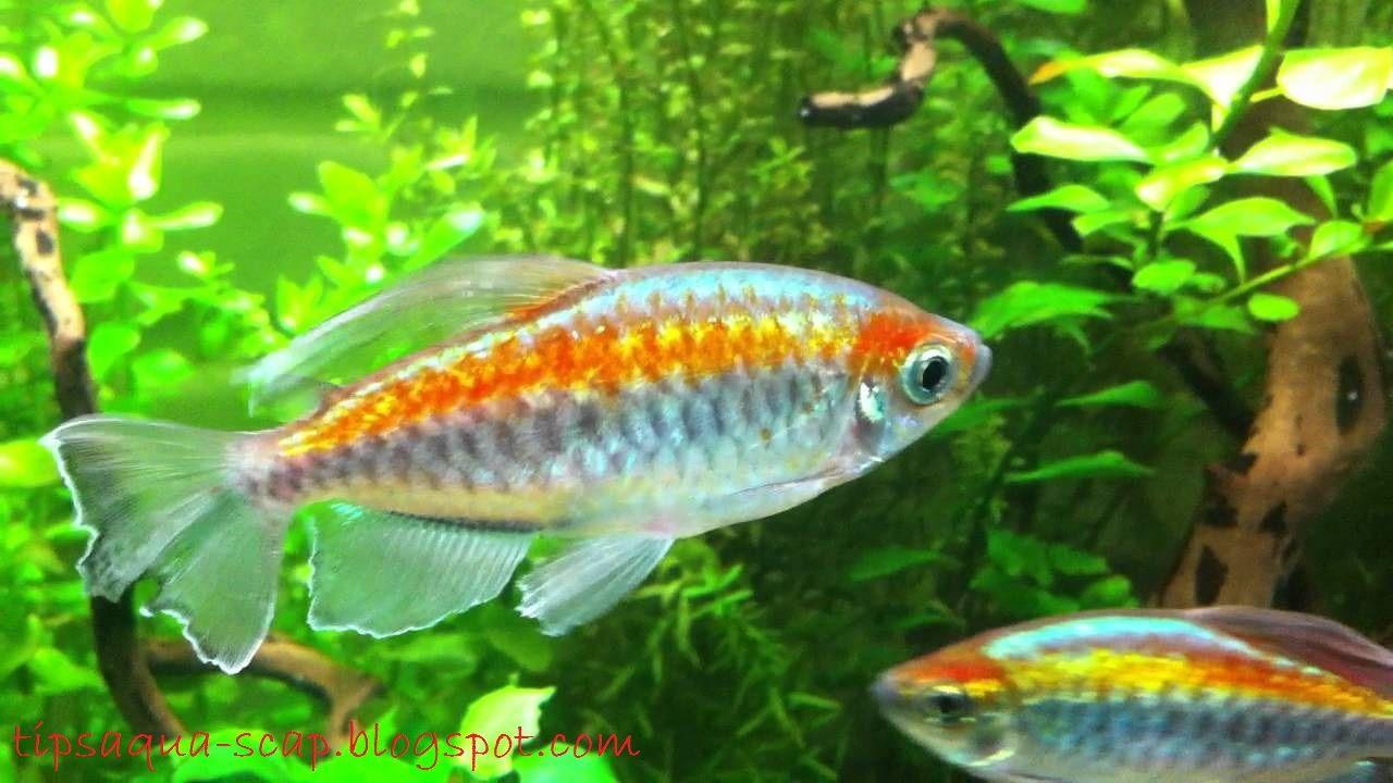 Gambar, foto Profil Lengkap Ikan Hias Congo Tetra  Dan Cara Merawatnya
