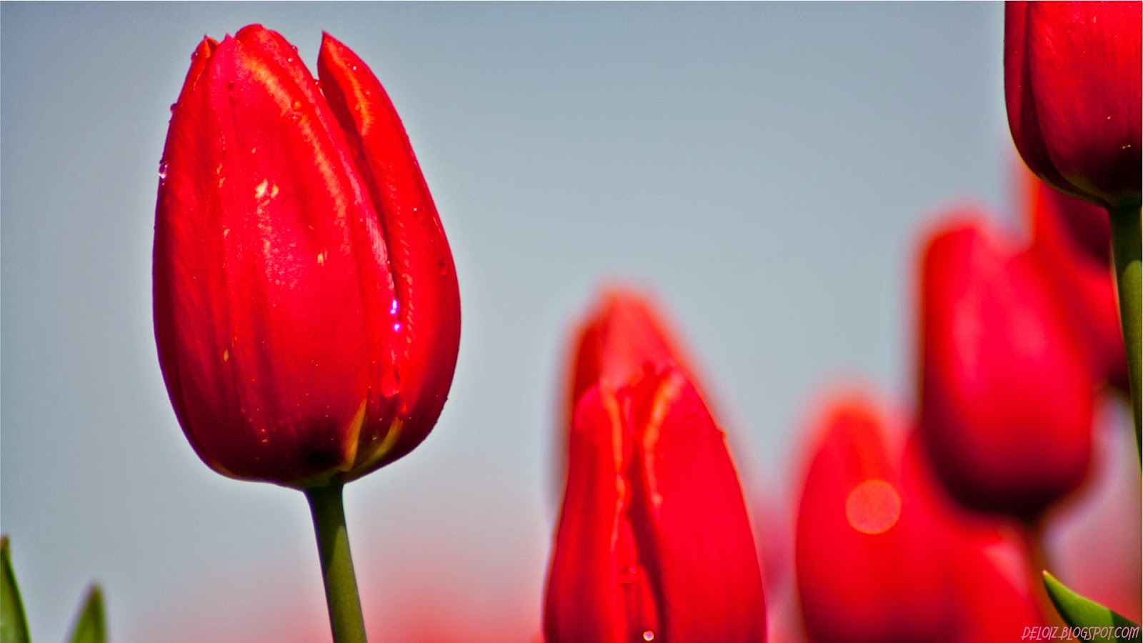 Wallpaper Bunga Tulip Merah