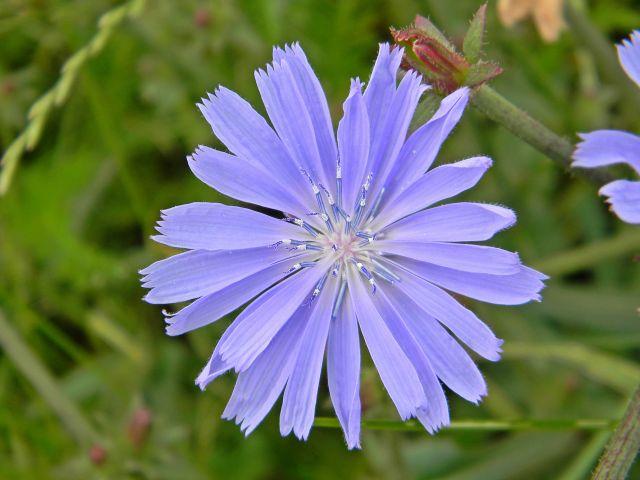 kwiat, niebieski, łąka, przyroda