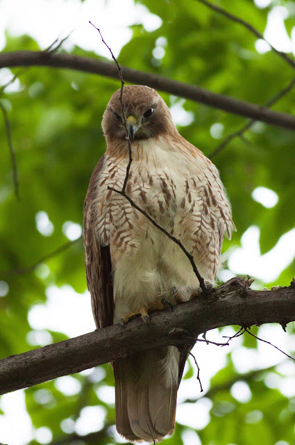 Red-tailed Hawk - Central Park, New York