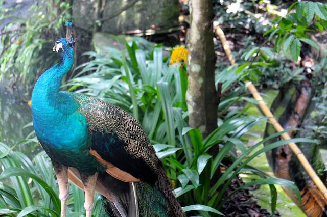 Bright peacock in the gardens in Kuala Lumpur
