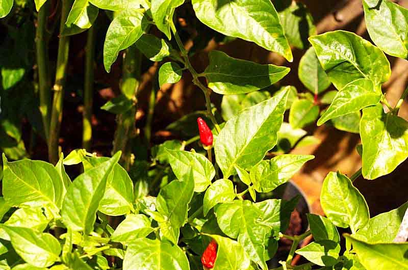 red peppers on plant