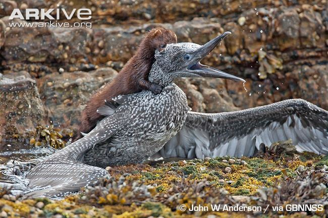 interactions between mammals and birds northern gannet