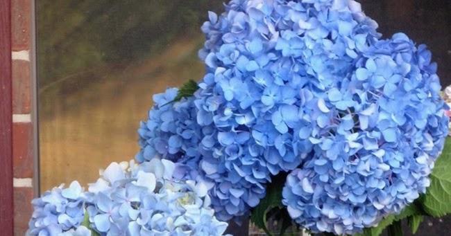 Botanic Bleu Hydrangeas Favorite Shade Of Blue