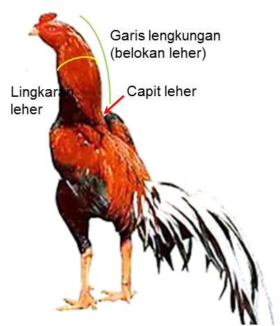 Fighting Gamecock Roosters