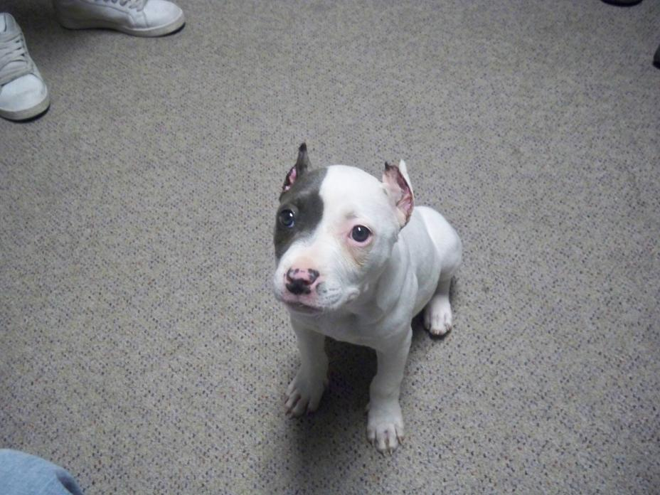 Black Pit Bull Puppies Ears Clipped