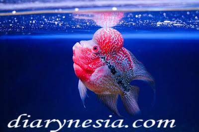 borneo freshwater fish, java freshwater fish, papua fresh water fish, diarynesia