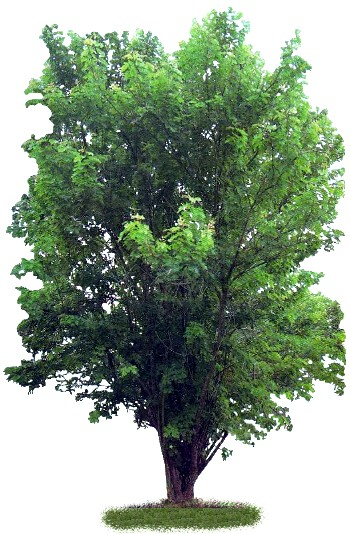Árvore Sabiá (Mimosa caesalpiniaefolia)