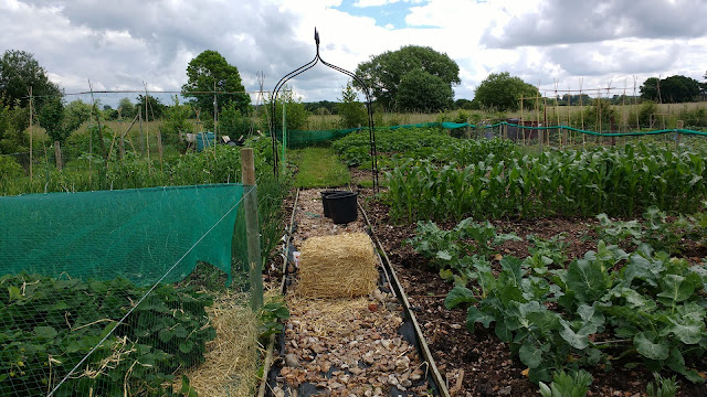 allotment update midsummer in Norfolk