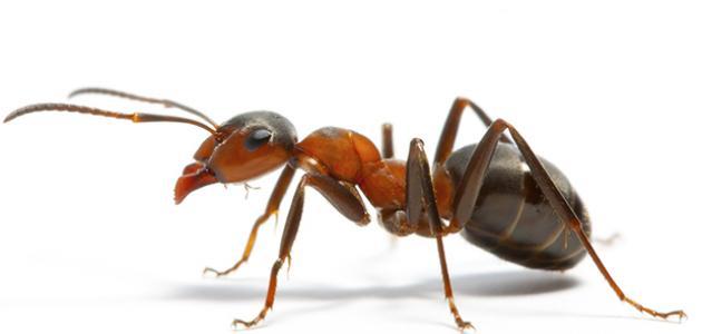 طرق التخلص من النمل