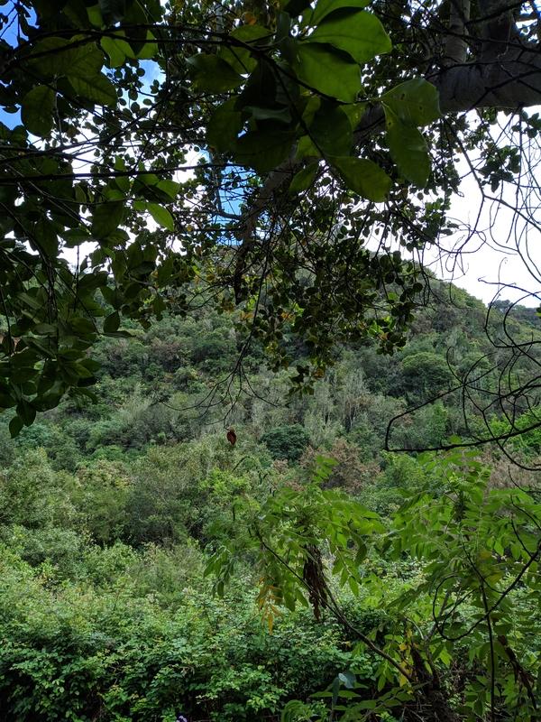 Лавровые деревья на Гран-Канарии