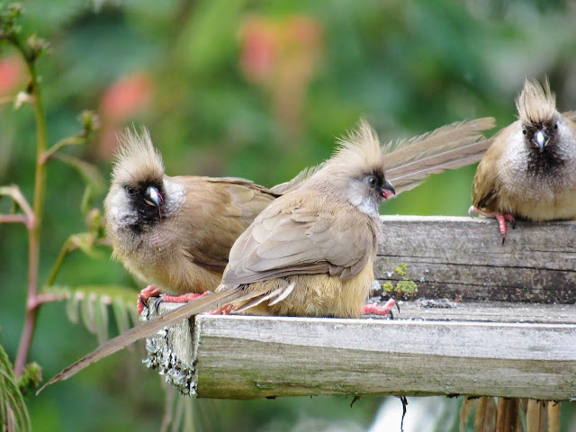 Speckled Mousebirds on Uganda's Lake Bunyonyi