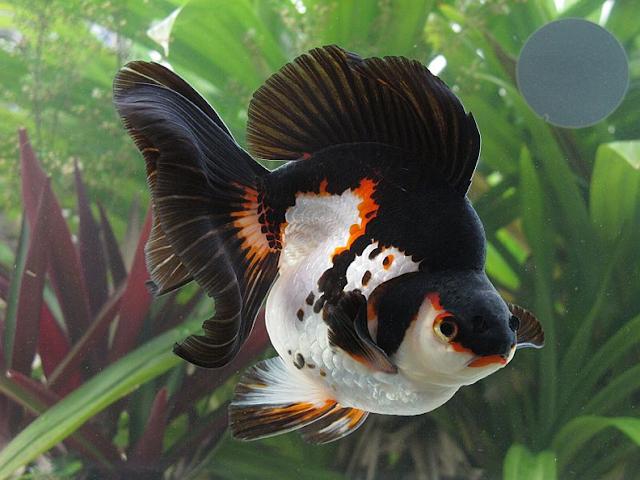 Resultado de imagem para Peixe Ornamental