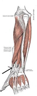 extensor pollicis brevis muscle