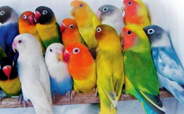 spesies burung lovebird