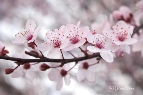Plum Blossoms- www.gildedbloom.com