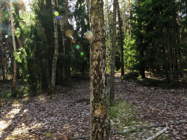 Birch Tree and sunlight orbs in the Stockholm Forest, Sweden photo by sue wellington