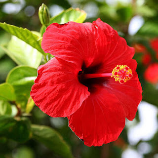 Gambar Bunga Alamanda yang Indah 15