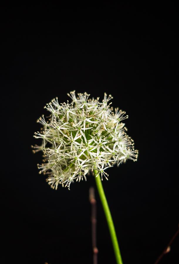 Blog + Fotografie by it's me | fim.works | aufgeblühter weißer Allium