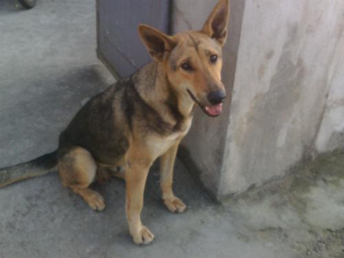Chú chó chuyên trộm thịt lợn mang về cho chủ nghèo ở Thanh Hóa