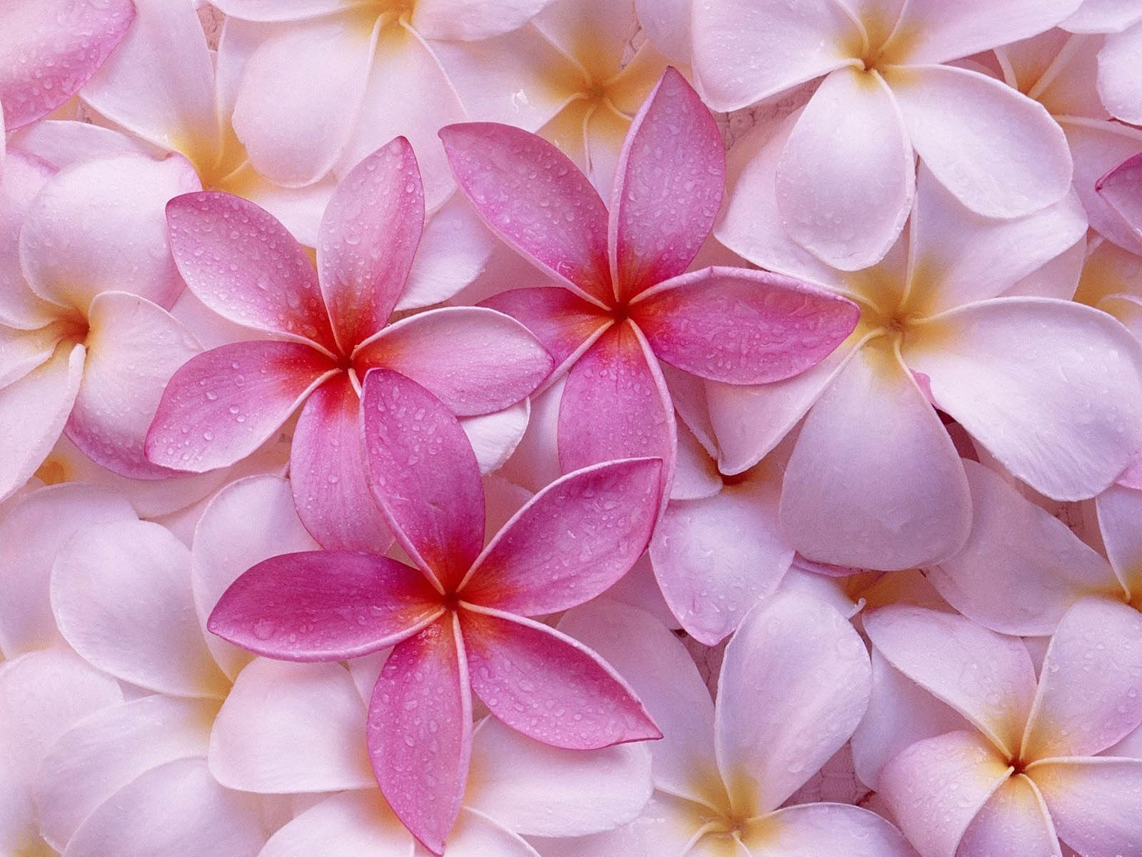 Gambar Gambar Bunga Berwarna Merah Muda Wallpapersforfree