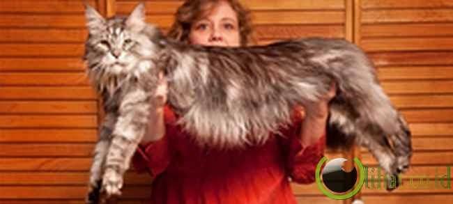 Stewie: Kucing 123 Cm