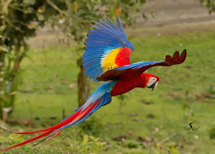 Araracanga ou Arara-Vermelha-Pequena (Ara macao)