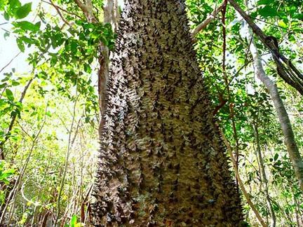 Pohon Dinamit Hura Brasiliensis