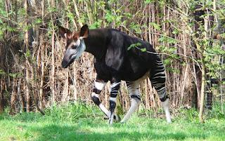 Okapi - Okapia johnstoni