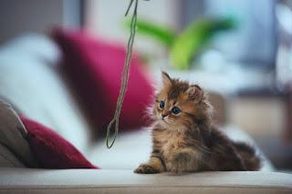 psychological cat