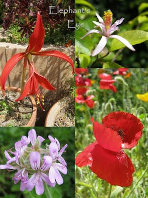 Maltese Cross, Lavender Star Pelargonium, poppy (also inherited)
