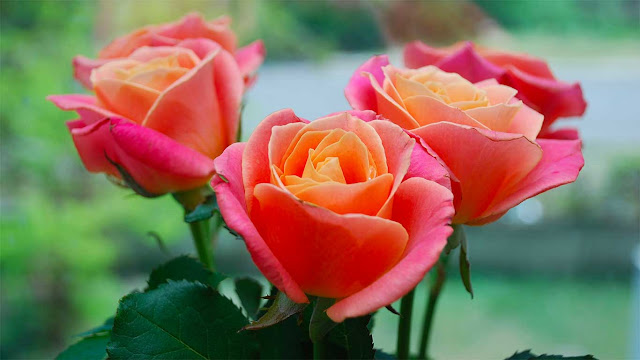 5 Cara Merawat Bunga Mawar Supaya Bunganya Banyak dan Awet Segar