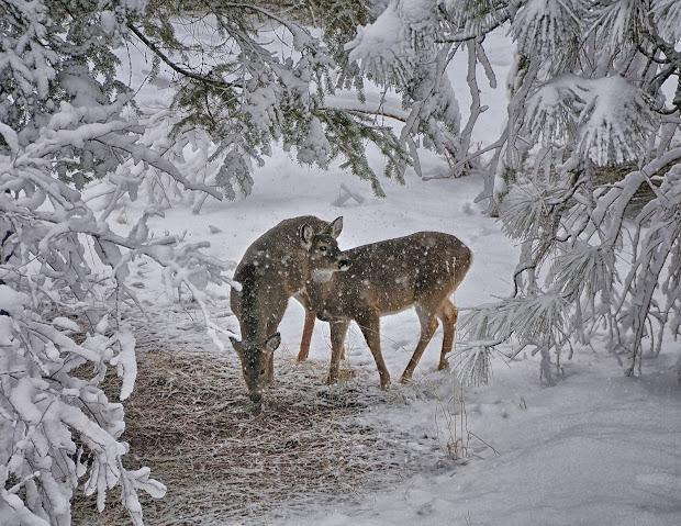 Desktop Winter Scenes with Deer