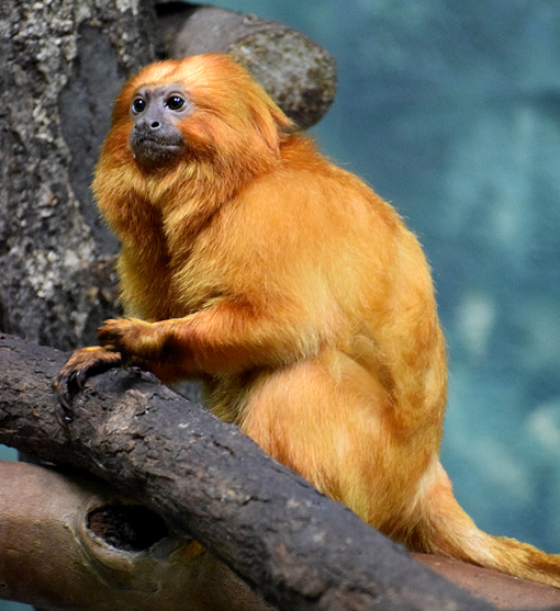 Golden Lion Tamarin | Zoo Atlanta | Photo: Travis S. Taylor