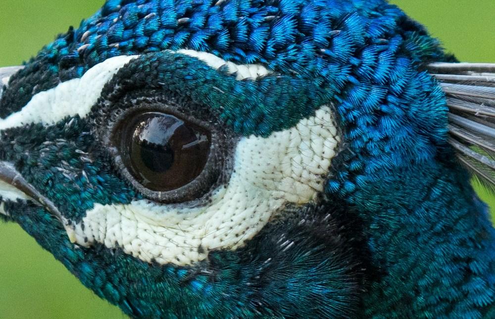 Павлиний глаз. Кадр сделан на объектив Samyang AF 35mm f/2.8 FE