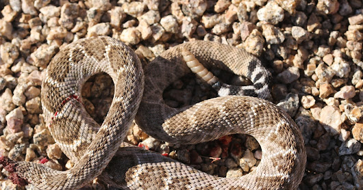 Rattlesnakes and Shaker Cans