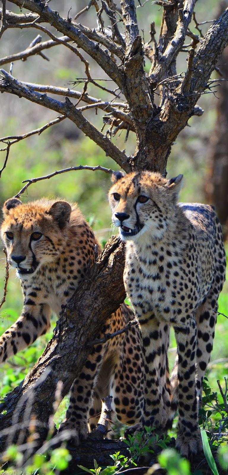 Picture of two young cheetahs.