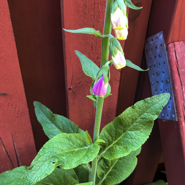 digitalis, fingerborgsblomma