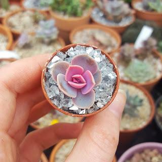 Baby Perle Von Nurnberg in tiny pot