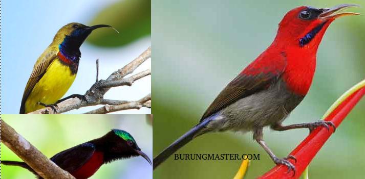 download suara burung kolibri pilihan burung master