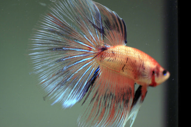 Can Bettas Have Swim Bladder After Lack Of Food