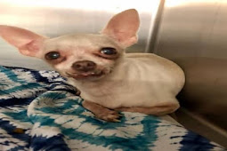 Terrified 12 years old chihuahua surrendered to kill shelter, shaking in corner kennel all day