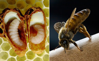 «Περίεργα» από την ζωή των μελισσών
