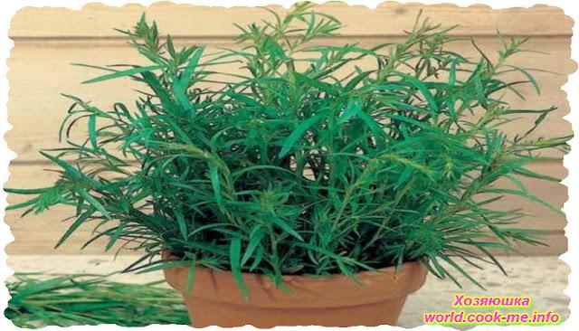 Как Вырастить Эстрагон из семян дома в горшке ?