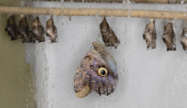 Owl butterfly, Caligo memnon, just emerged from its chrysalis in the puparium.   Butterflies in the Glasshouse at RHS Wisley, 26 January 2016.