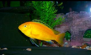 Perbedaan Ikan Lemon Jantan dan Betina