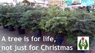 Christmas trees Green Fingered Blog