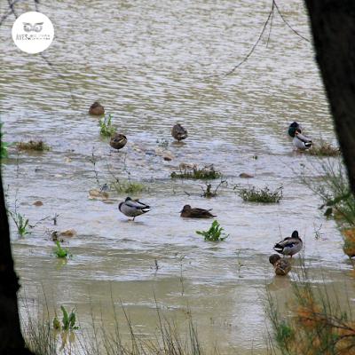Bando mixto de ánades azulones (Anas platyrhynchos) en la orilla del Ebro